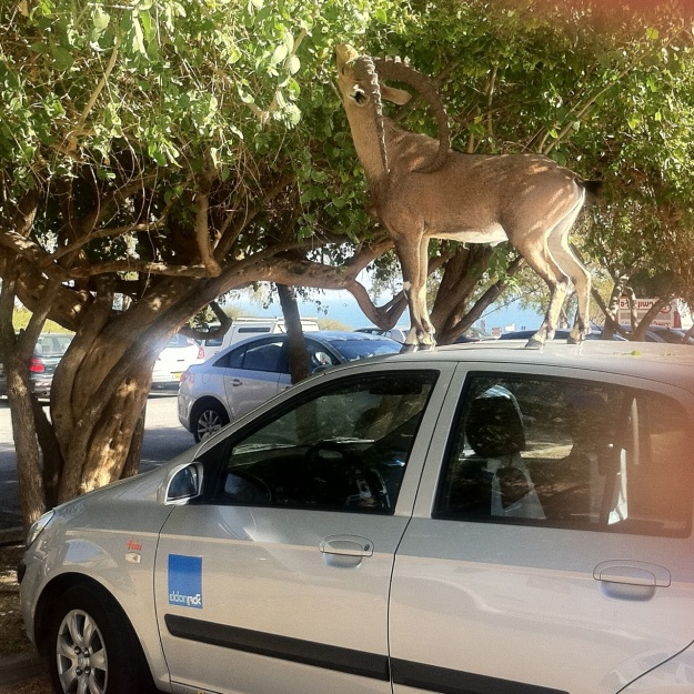 Ibex at Ein Gedi on car roof