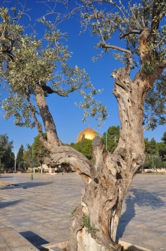 Dome of Rock and olive tree_053