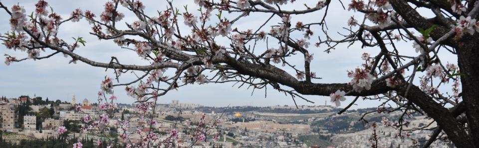 Almond Blossom Jerusalem