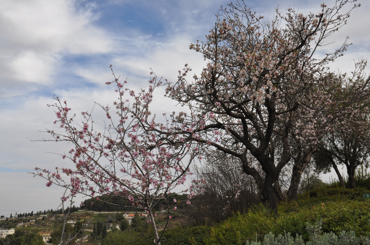 almond blossoms on tu bishvat israel tours