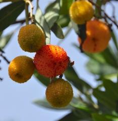 Strawberry tree (Arbutus unedo)