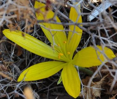 Sternbergia, Maale Rehavam