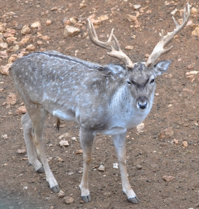 Introducing Fallow Deer