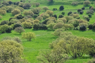 Trees on Golan