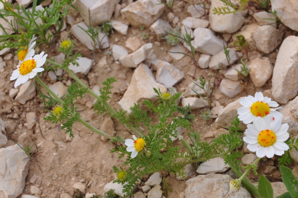 Chamomile (Anthemis marismortui)-קחון ים המלח
