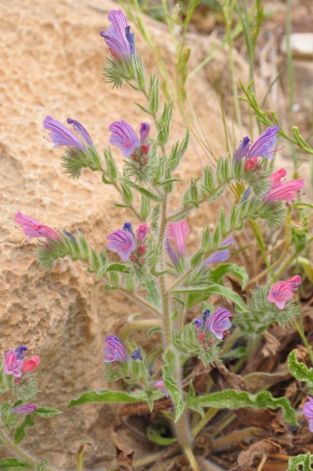 Echium judaeum-עכנאי יהודה