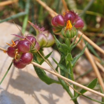 Calendula arvensis–ציפורני חתול