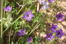 Campanula hierosolymito-פעמונית ירושלים