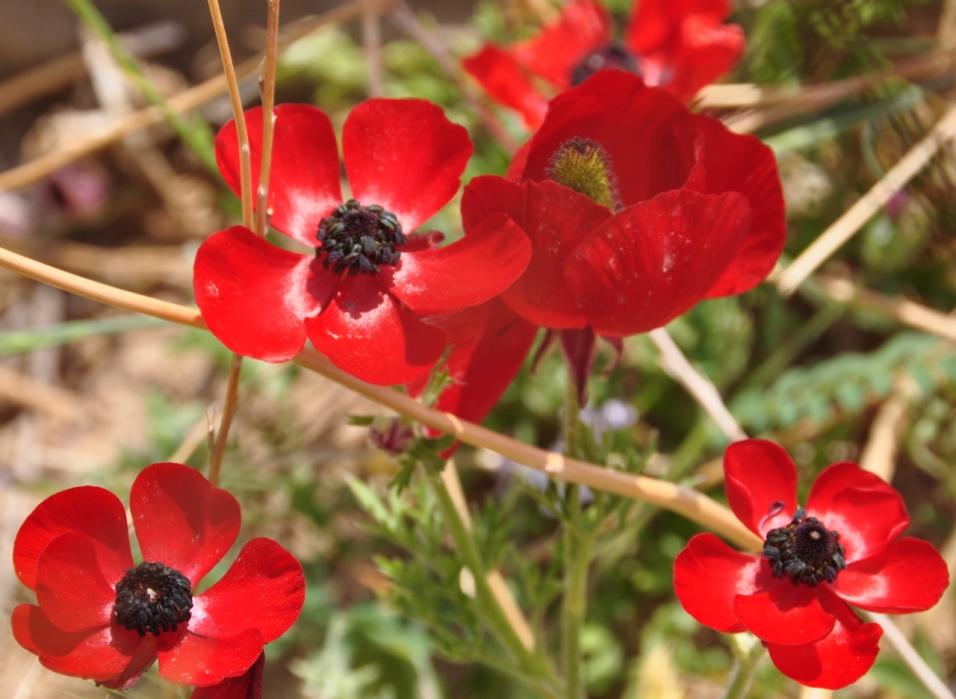 Anemone coronario-כלנית