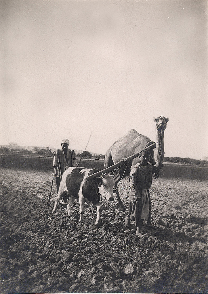 Ploughing w camel and ox