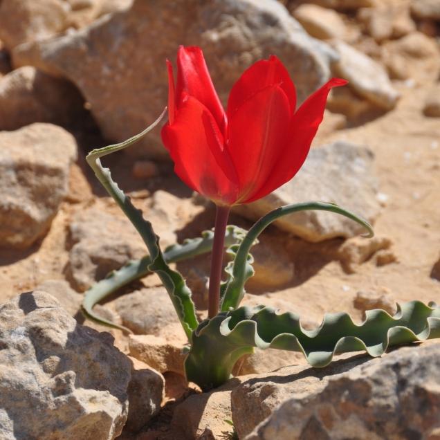 Tulip Negev