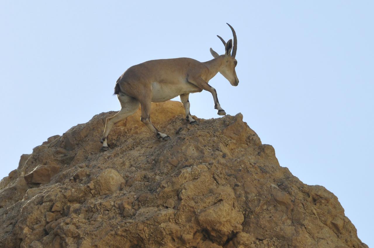 Ibex at Ein Gedi