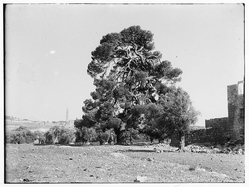 Prince of Wales Pine Tree