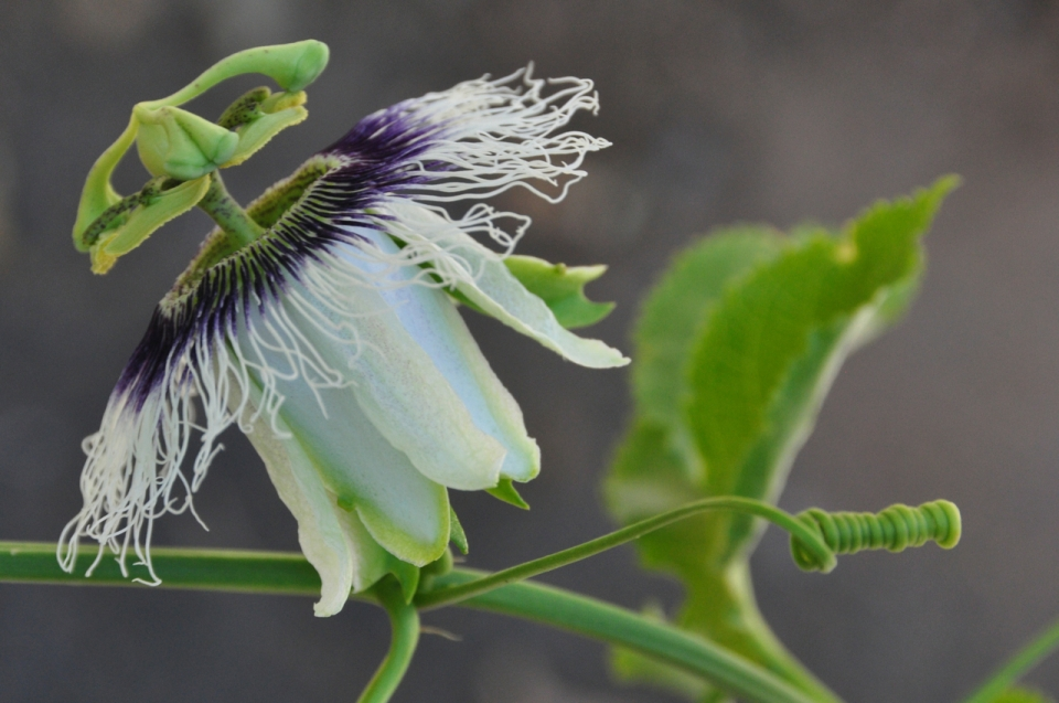 Passion flower side