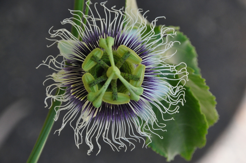 Passion flower top