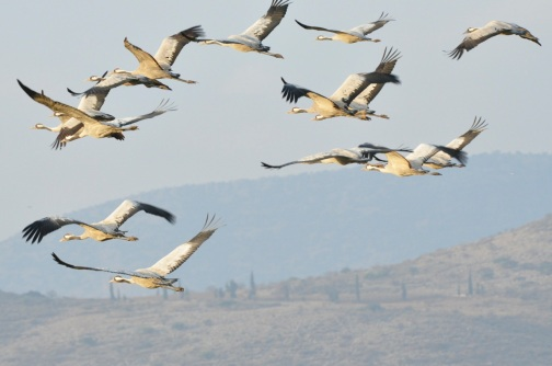 Cranes in flight, Agamon HaHula