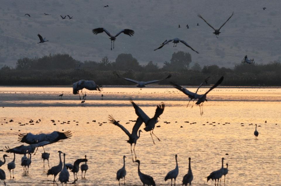 Cranes taking off