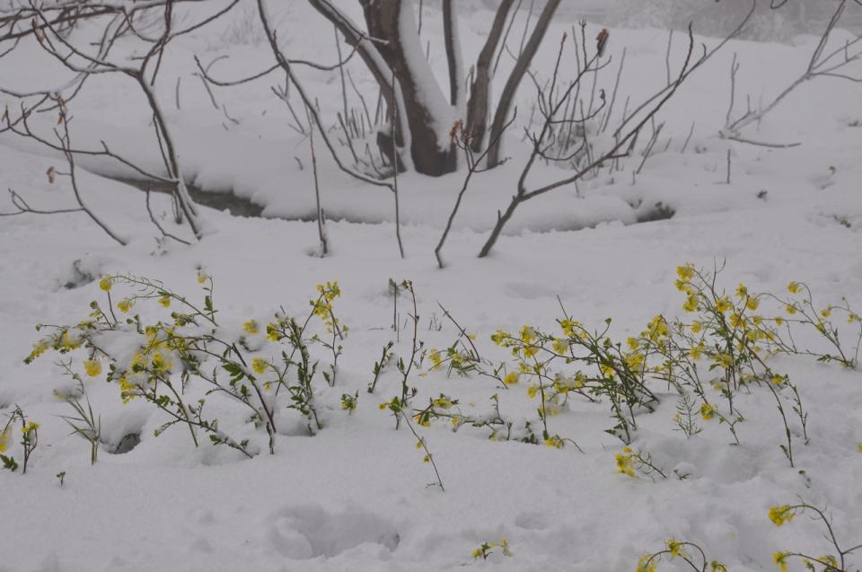 Mustard snow