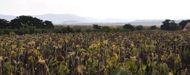 Sunflowers on Yam l'yam