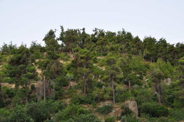 Pine Forest, Meron