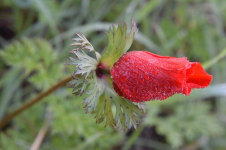 Red Anemones w dew
