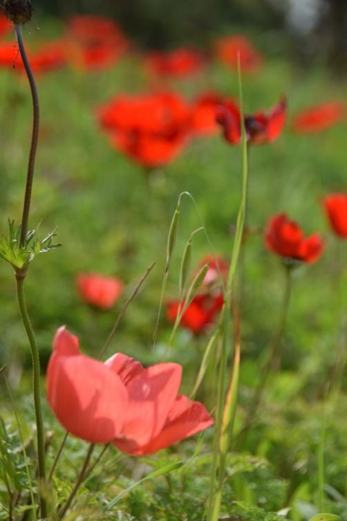 Red Anemones, Shukeda