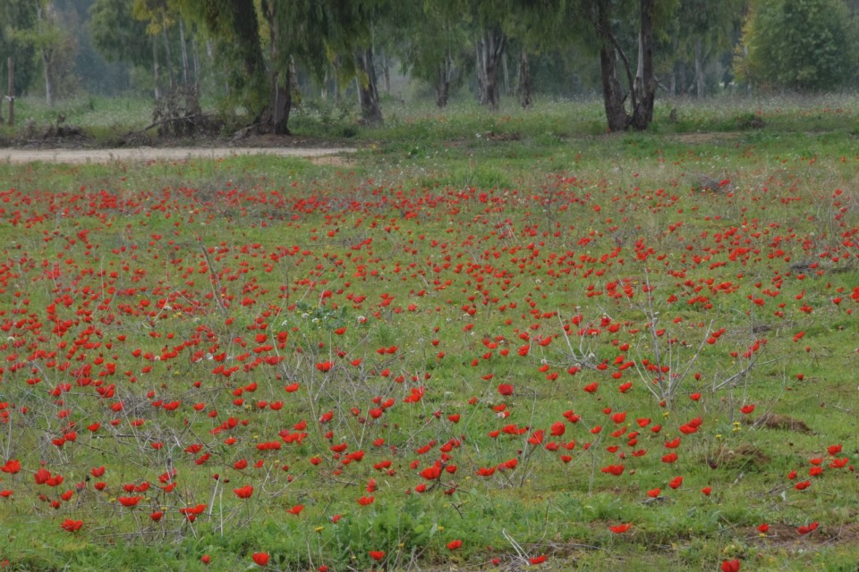 Carpet of red anemones, Shukeda