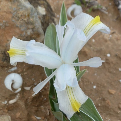 Iris Tuvia