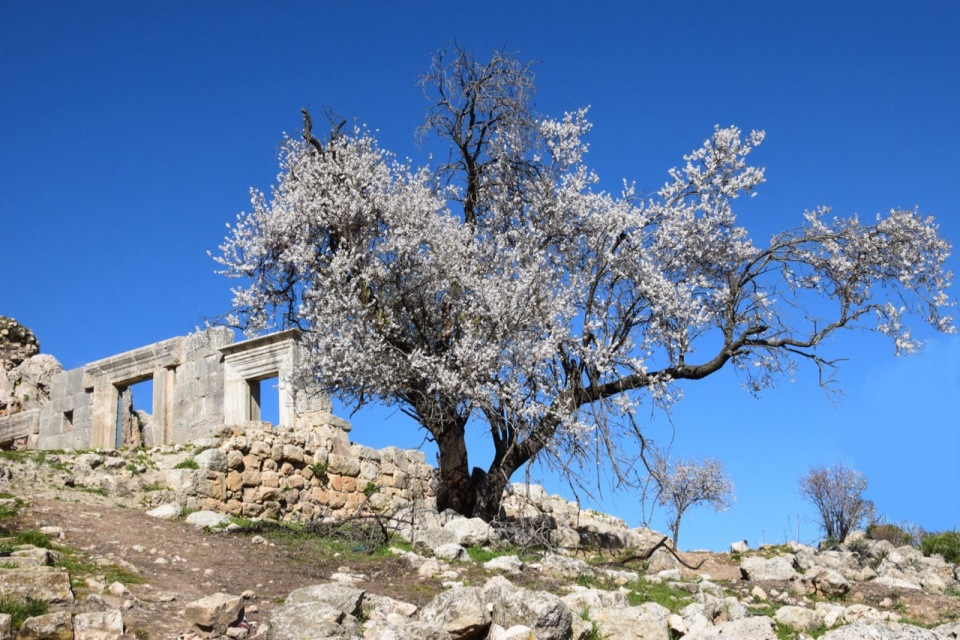 Meron synagogue February almond blossoms