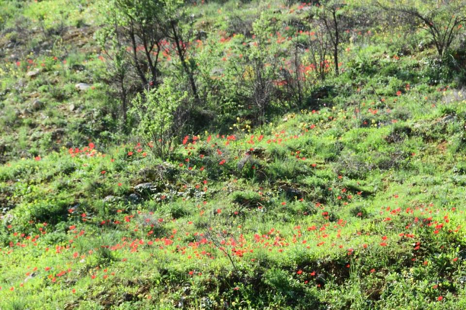 Anemones at Lifta