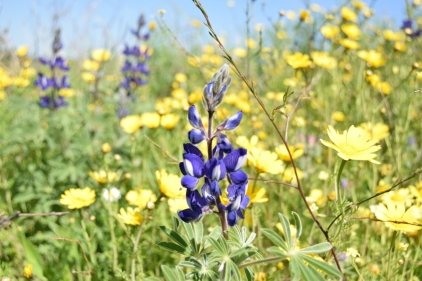 Lupine w yellow